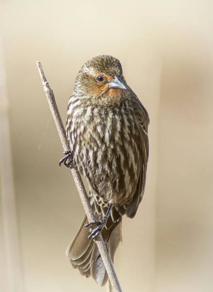Photograph - Pine Siskin Finch by Rick Mosher