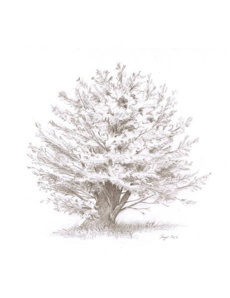 Drawing - Pine  by Steven Powers SMP