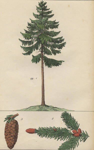 Evergreen Trees Drawing - Pine Tree And Cone by German Botanical Artist