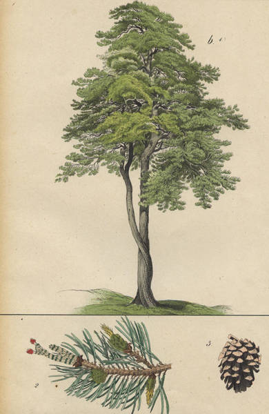 Evergreen Trees Drawing - Pine Tree And Pine Cone by German Botanical Artist