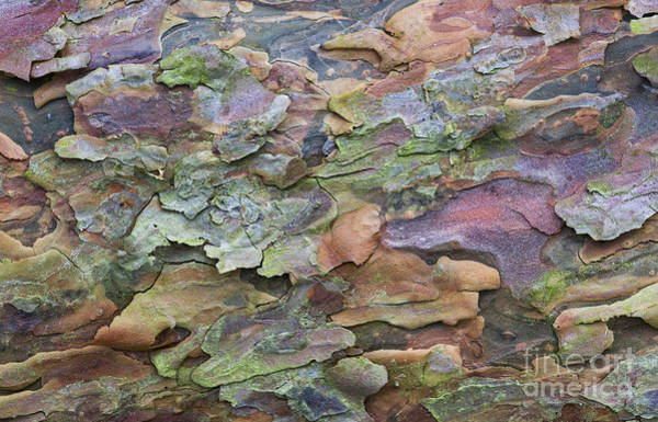 Flake Photograph - Pine Tree Bark by Tim Gainey