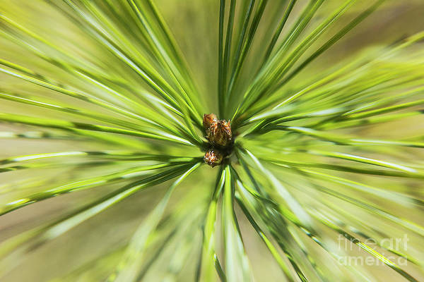 Photograph - Pine Tree Fascicle by Steve Somerville
