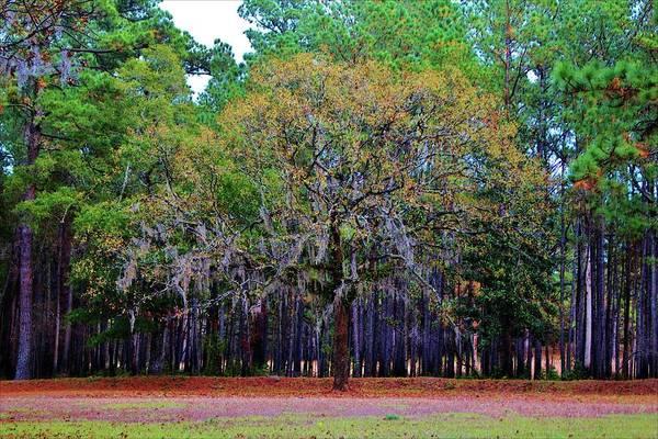 Photograph - Pine Tree Landscape by Cynthia Guinn