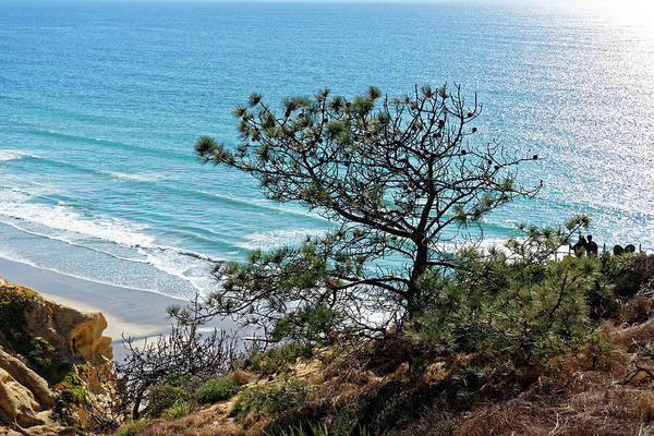 Pine Tree On Coast Art Print