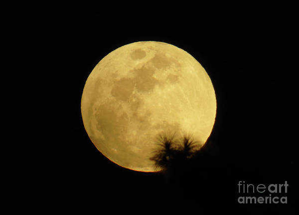 Photograph - Pine Tree Silhouette Full Moon by D Hackett