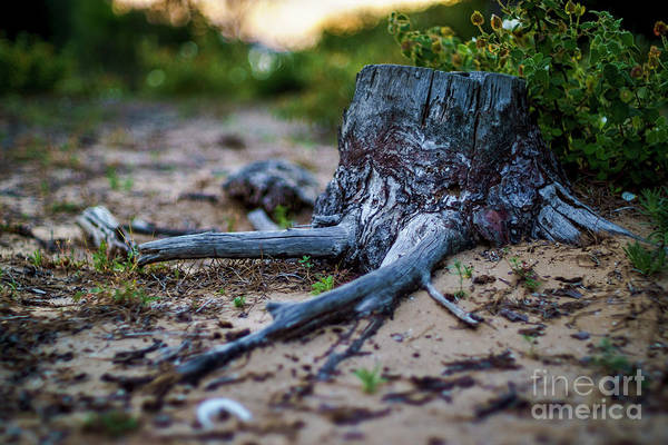 Photograph - Pine Tree Stump Cadiz Bay Natural Park Spain by Pablo Avanzini