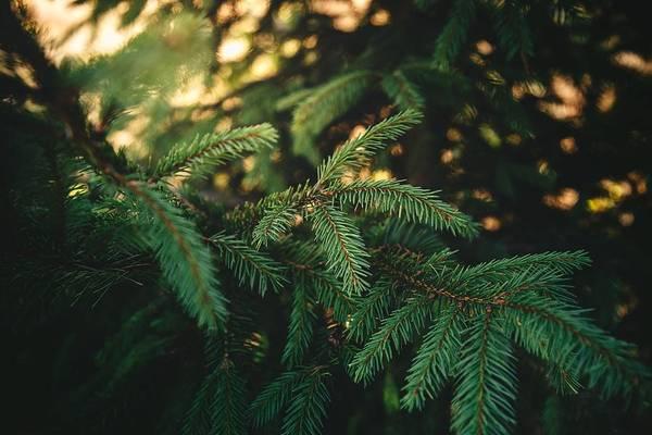 Fractal Digital Art - Pine Tree by Super Lovely