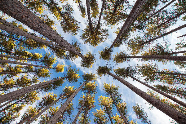 Photograph - Pine Tree Vertigo by Adam Pender
