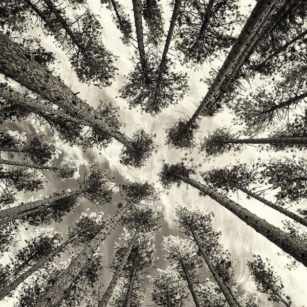 Photograph - Pine Tree Vertigo - Square Sepia by Adam Pender