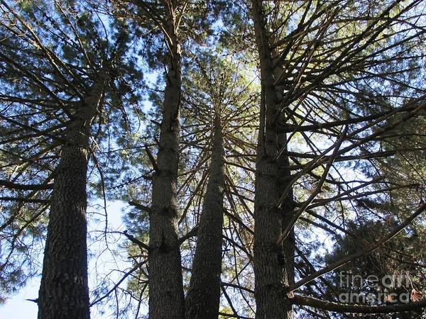Photograph - Pine Trees Near Marbella by Chani Demuijlder