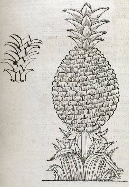 Wall Art - Photograph - Pineapple, 16th Century Artwork by Middle Temple Library