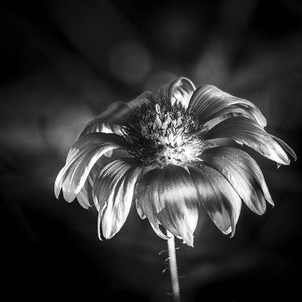 Cypress Gardens Photograph - Pineapple Butter Cup B/w by Marvin Spates