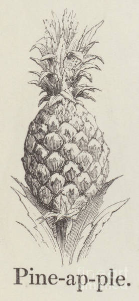 Pineapples Drawing -   Pineapple by English School