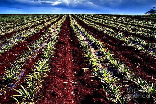 Photograph - Pineapple Field by Thomas R Fletcher