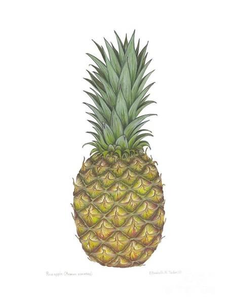 Pineapple Painting - Pineapple II by Elizabeth H Tudor