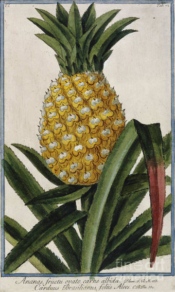 Pineapples Drawing - Pineapple by Italian School