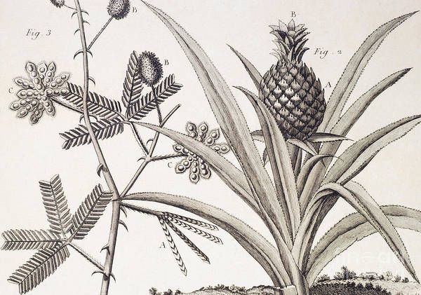 Tropical Drawing - Pineapple Plant by Denis Diderot
