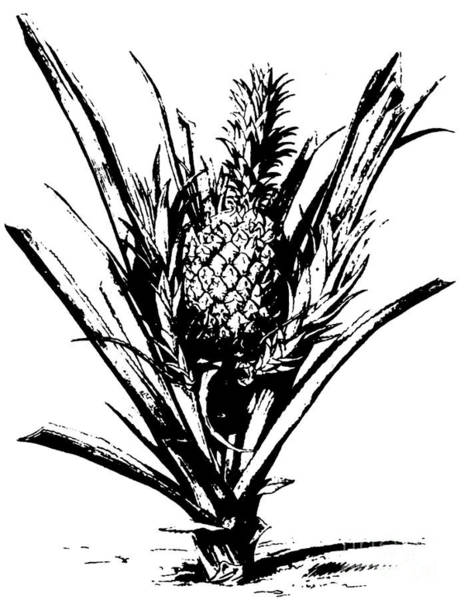 Pineapples Drawing - Pineapple Plant With Fruit by Italian School