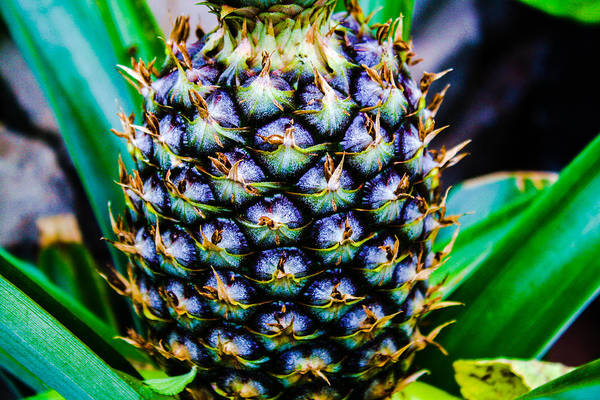 Photograph - Pineapple by Stacey Rosebrock