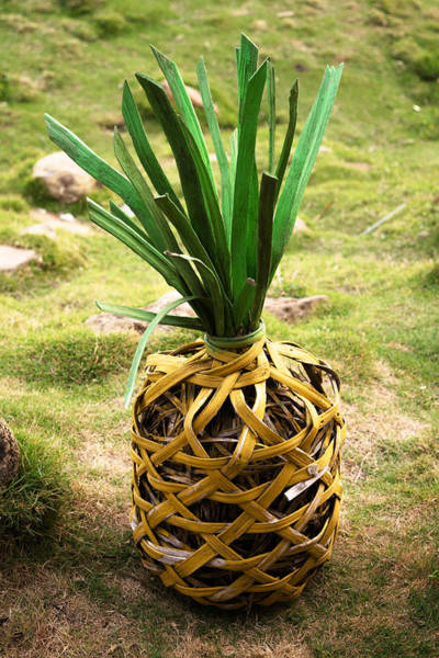 La Libertad Photograph - Pineapple by Totto Ponce