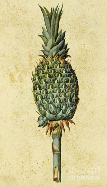 Pineapples Drawing - Pineapple by Ulisse Aldrovandi