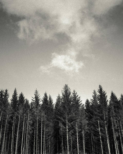 Forestry Photograph - Pines And Clouds by Dave Bowman
