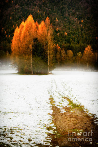 Photograph - Pines In The Snow by Silvia Ganora