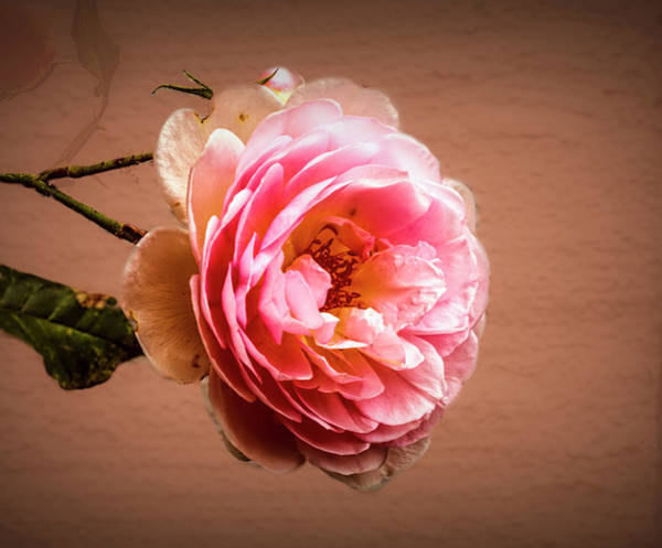 Photograph - Pink A3 by Leif Sohlman