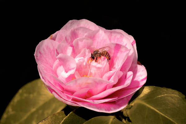 Pink And Bee Art Print