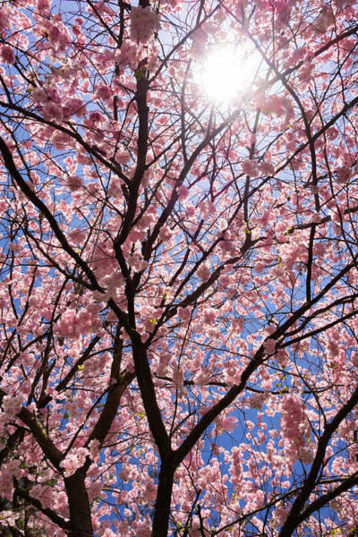 Photograph - Pink And Blue Spring Colors by Matthias Hauser
