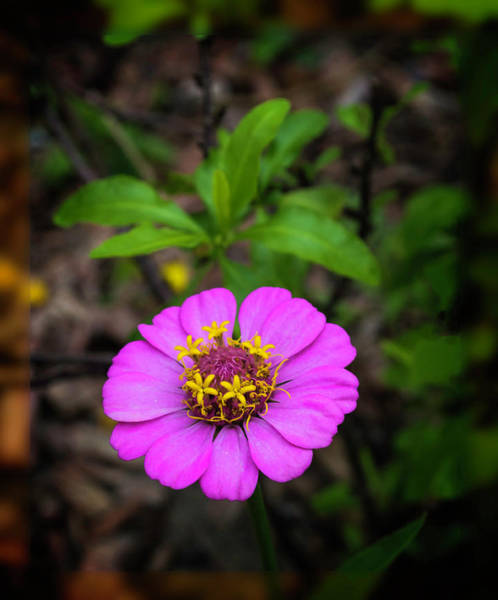 Otp Photograph - Pink And Gold by Marshall Barth