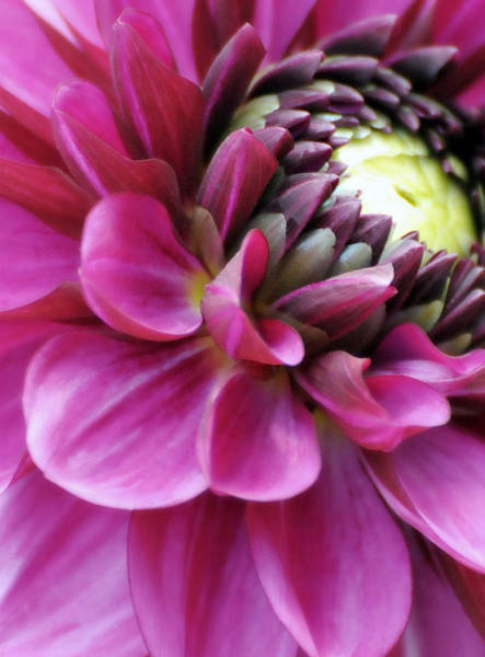 Perky Photograph - Pink And Perky by Diana Angstadt
