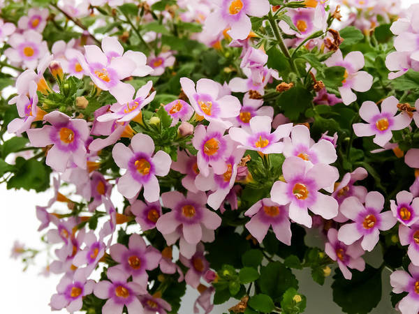 Bacopa Photograph - Pink And Purple Bacopa Flowers by Cynthia Woods