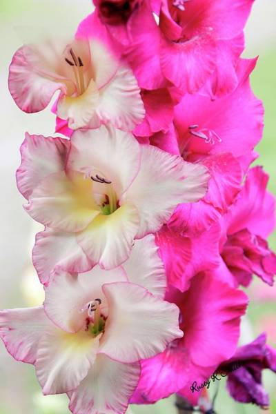 Digital Art - Pink And Red Gladiolas. by Rusty R Smith
