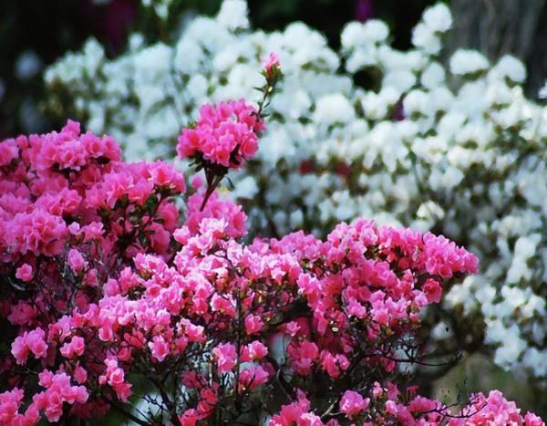 Pea Digital Art - Pink And White Azelas by Michael Thomas