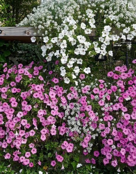 Photograph - Pink And White Flowers by Joan Reese