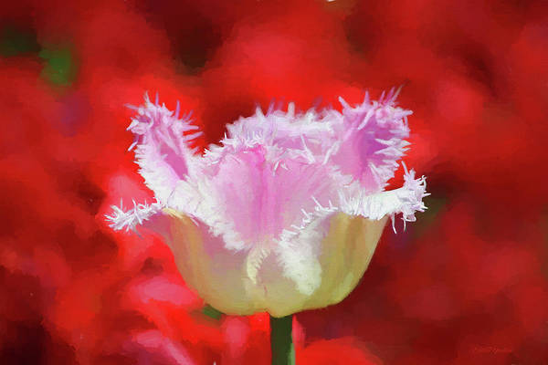 Painting - Pink And White Fringed Tulip - Painted by Ericamaxine Price