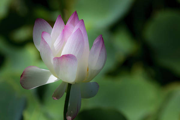 Photograph - Pink And White Lotus Blossom by Teresa Wilson