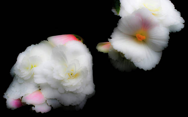 Photograph - Pink And Yellow On White 1 by Lee Santa