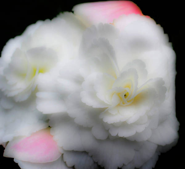 Photograph - Pink And Yellow On White 2 by Lee Santa
