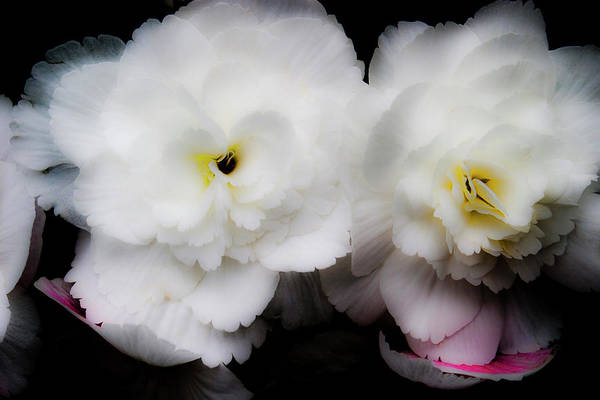 Photograph - Pink And Yellow On White 3 by Lee Santa