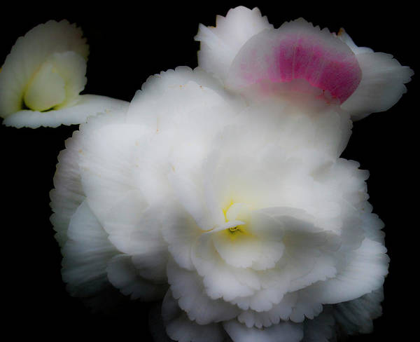 Photograph - Pink And Yellow On White 5 by Lee Santa