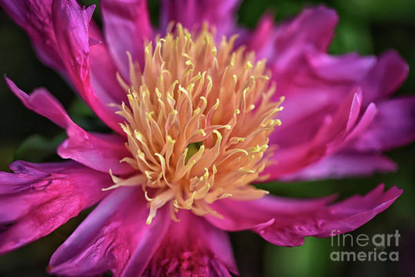 Photograph - Pink And Yellow Peony by Lois Bryan