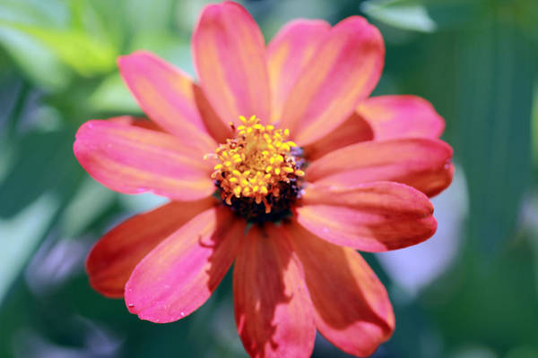 Photograph - Pink And Yellow Petals by Angela Murdock