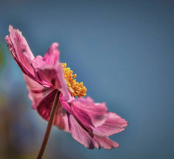 Photograph - Pink And Yellow Profile #h8 by Leif Sohlman