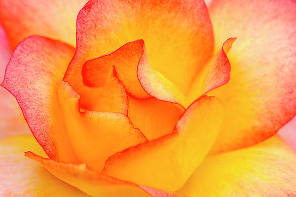 Photograph - Pink And Yellow Rose Close Up by Teri Virbickis