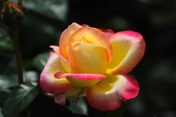 Wall Art - Photograph - Pink And Yellow Rose by Edward Sobuta
