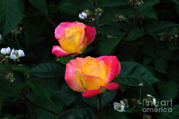 Wall Art - Photograph - Pink And Yellow Rose With Raspberrys by Edward Sobuta