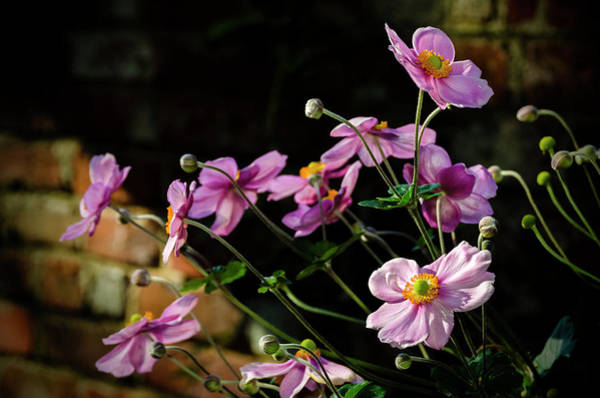 Photograph - Pink Anemone Hupehensis by Greg Reed