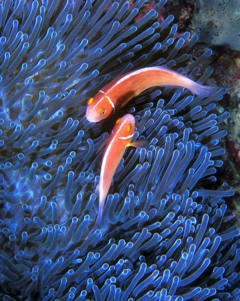 Photograph - Pink Anemonefish, Great Barrier Reef by Pauline Walsh Jacobson